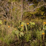 5.13.13 - Yellow Cactus of Texas....