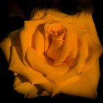 5.15.13 - The Yellow Rose....